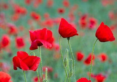 Moderny Samorin pre vsetkych cervene maky den veteranov prva svetova vojna
